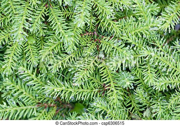 images de sapin branches arbre aiguilles arri re plan vert csp6306515 recherchez des. Black Bedroom Furniture Sets. Home Design Ideas