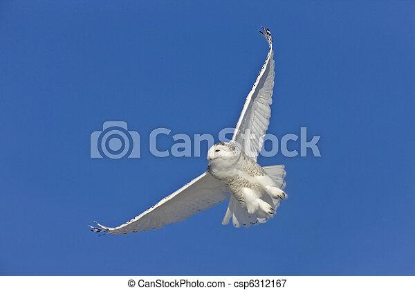 Snowy Owl in Flight - csp6312167