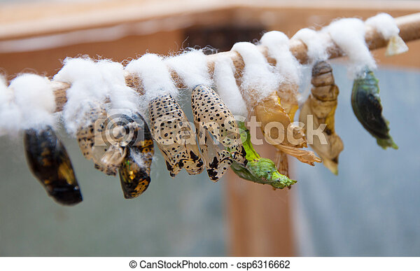 photo de papillon cocons a closeup chrysalide papillons csp6316662 recherchez des. Black Bedroom Furniture Sets. Home Design Ideas