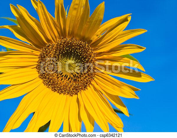 Yellow Sunflower closeup against a blue cloudless sky. - csp6342121