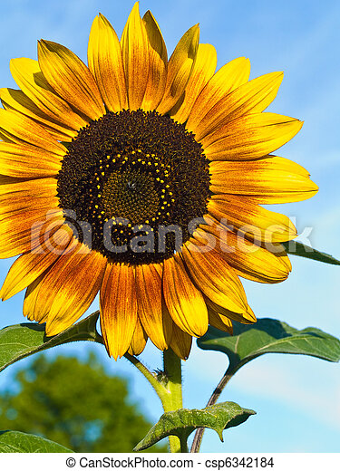 Yellow Sunflower closeup against a blue cloudless sky.  - csp6342184