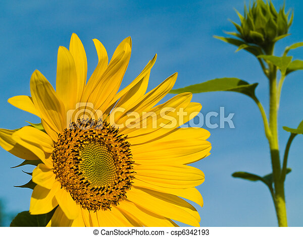 Yellow Sunflower closeup against a blue cloudless sky. - csp6342193