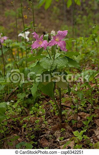 Pink wild Trillium - csp6342251