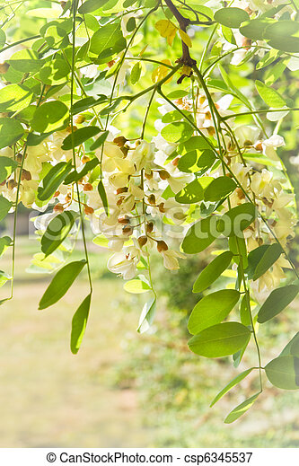 White flowers and fresh leaves in spring - csp6345537