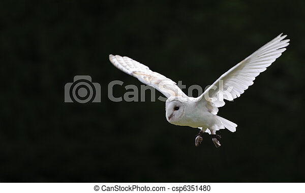 Barn owl bird of prey in falconry display - csp6351480
