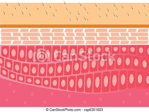 skin cross-section anatomy vector - csp6351603