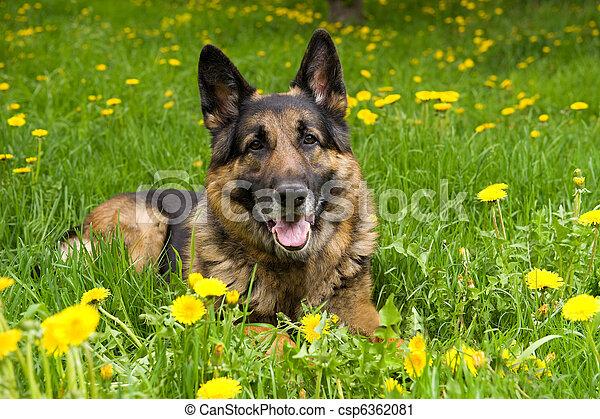 German Shepherd on the meadow - csp6362081