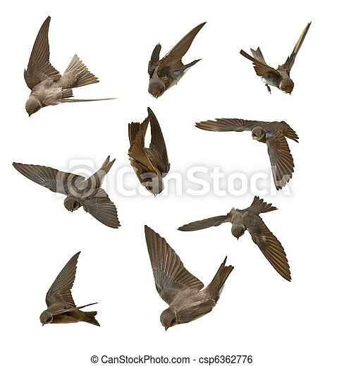 swallows in flight isolated on whit - csp6362776