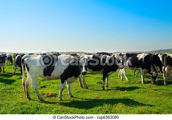 Herd of cows grazing in meadow  - csp6363080