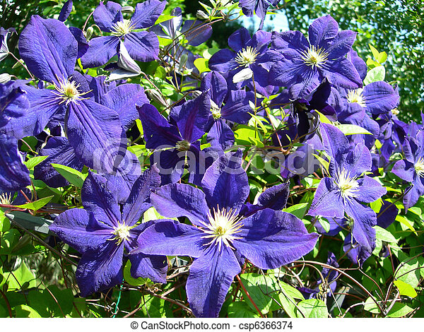 stock photo of clematis vine flowers in  climbing vine of purple, Natural flower