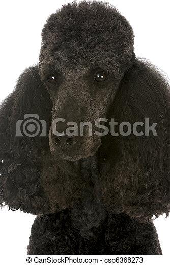 standard poodle portrait - csp6368273