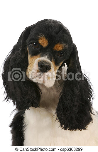 cocker spaniel - csp6368299