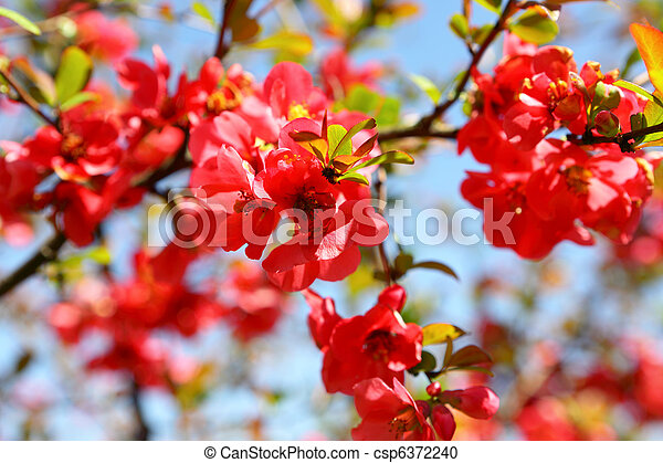 Quince Bush Blossoms - csp6372240