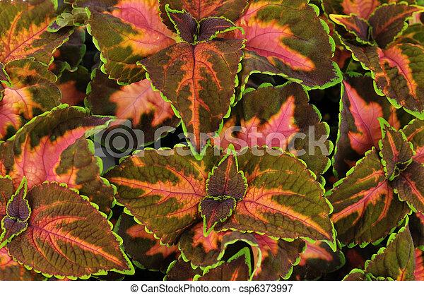 coleus leaves - csp6373997