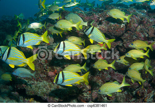 Porkfish and French Grunts on a reef ledge in south east Florida. - csp6381461