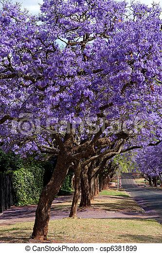 jacaranda trees - csp6381899