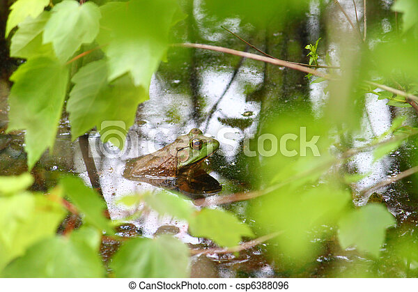 Bullfrog (Rana catesbeiana) - csp6388096