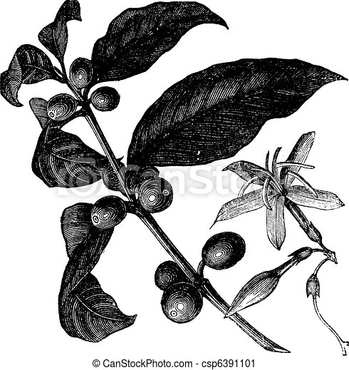 Coffea, or Coffee shrub and fruits, vintage engraving. - csp6391101
