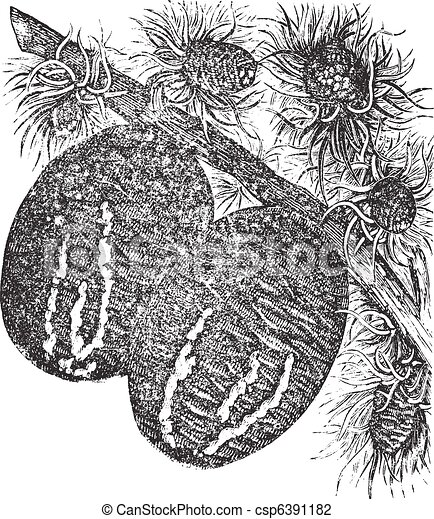 Cedar branch with a cedar cone vintage engraving - csp6391182