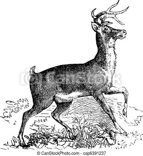 Whitetail or Virginia deer vintage engraving - csp6391237