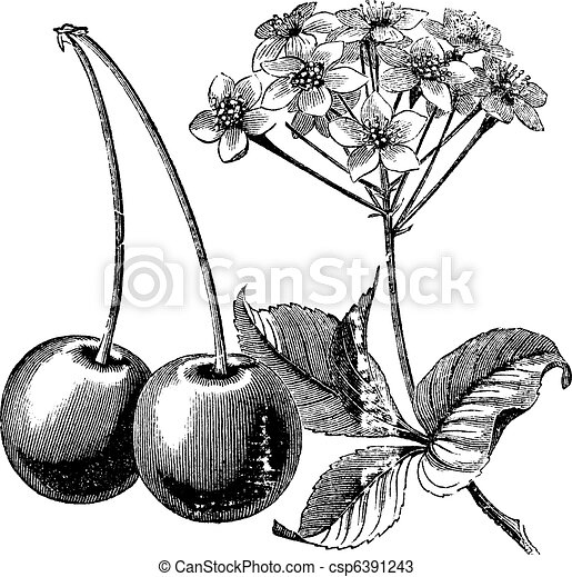 Cherry with leaves and flowers vintage engraving - csp6391243