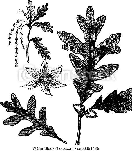 White Oak vintage engraving - csp6391429