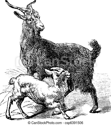 Domestic Goat vintage engraving - csp6391506