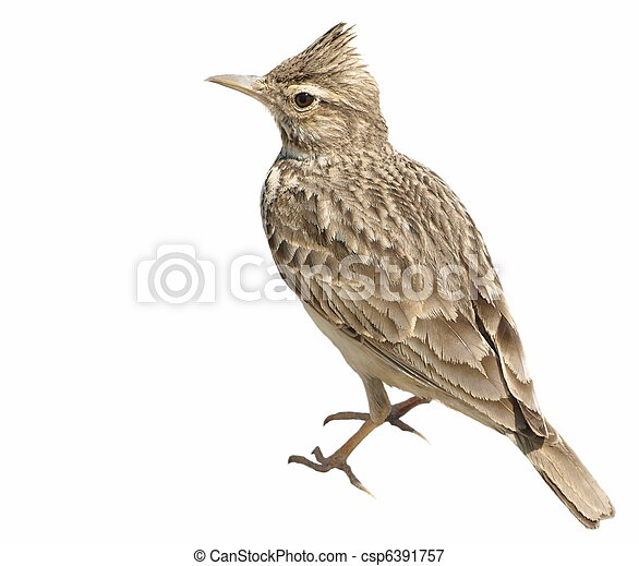 Crested Lark isolated on white - csp6391757