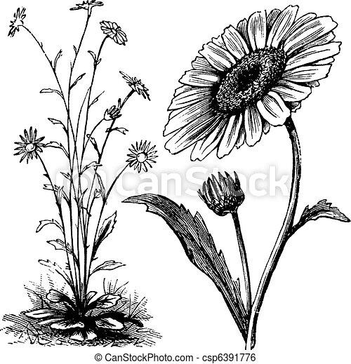 Chrysanthemum sp. vintage engraving - csp6391776