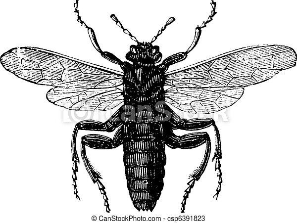 Elm Sawfly or Cimbex ulmi vintage engraving - csp6391823