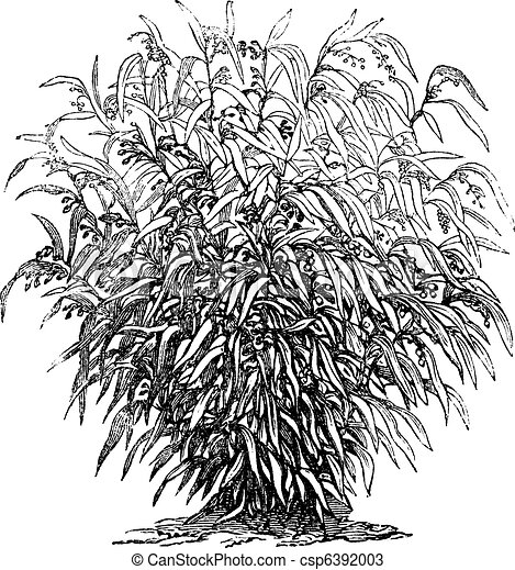 Job's Tears or Coixseed or Tear Grass or adlay or adlai or Coix lacryma-jobi vintage engraving - csp6392003