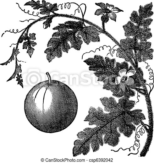 Colocynth or Bitter Apple or Bitter Cucumber or Egusi or Vine of Sodom or Citrullus colocynthis vintage engraving - csp6392042