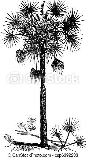 Palmetto or Cabbage Palm or Cabbage Palmetto or Palmetto Palm or Sabal Palm or Sabal palmetto vintage engraving - csp6392233
