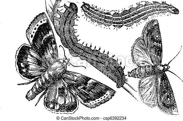 Owlet moth or Noctuidae vintage engraving - csp6392234