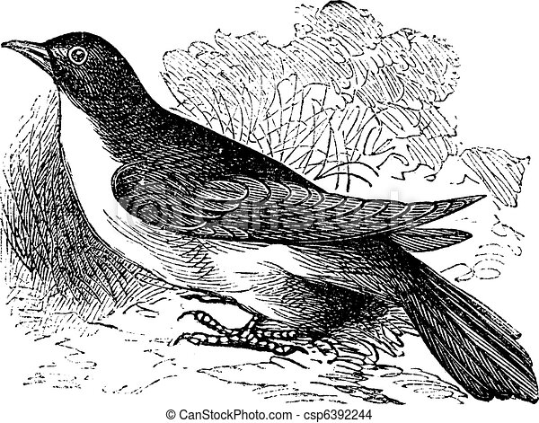 Yellow-billed Cuckoo or Rain Crow or Storm Crow or Coccyzus americanus vintage engraving - csp6392244