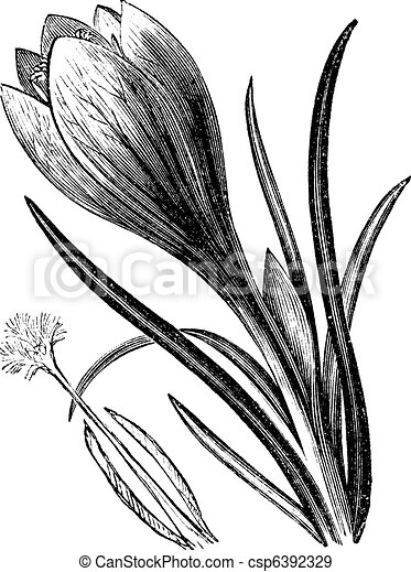 Crocus Clipart and Stock Illustrations. 1,643 Crocus vector EPS ...