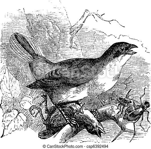 Red-backed Shrike or Lanius collurio, vintage engraving - csp6392494