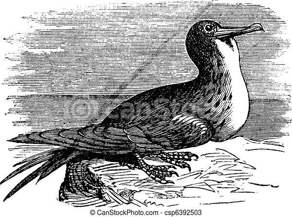 Great Frigatebird or Fregata minor  vintage engraving - csp6392503