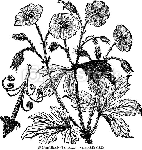 Spotted Geranium or Geranium maculatum vintage engraving - csp6392682