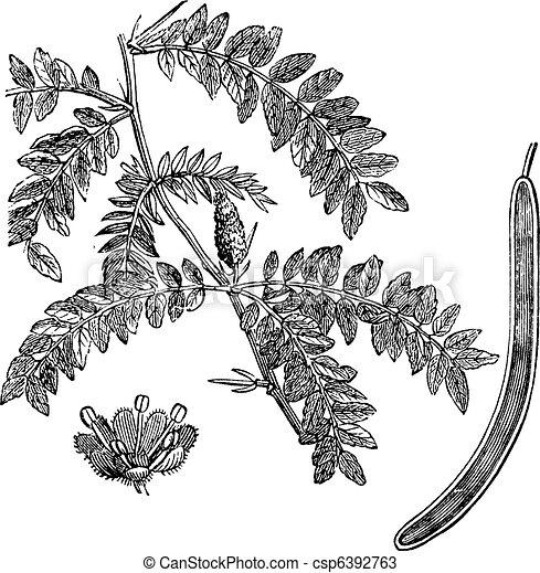 Honey locust or Gleditsia triacanthos vintage engraving - csp6392763