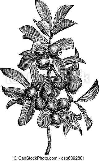 Cattley guava or Psidium littorale vintage engraving - csp6392801
