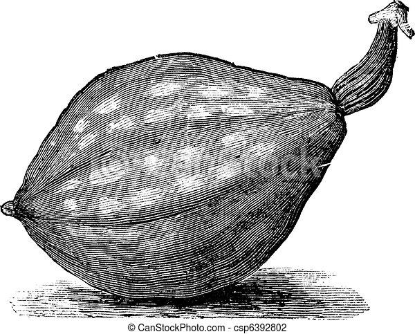 Bottle gourd or Lagenaria siceraria vintage engraving - csp6392802