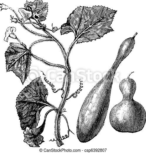 Calabash or Lagenaria vulgaris vintage engraving - csp6392807