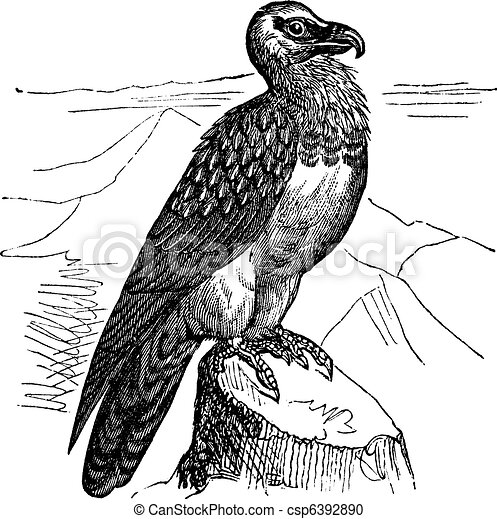 Vulture Line Drawing Bearded Vulture  Gypaetus