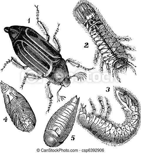 1.Regular Chafer (Melolontha vulgaris)  2.Larva rear view 3.Larva, side view 4.chrysalis view below 5.chrysalis view below vintage engraving - csp6392906