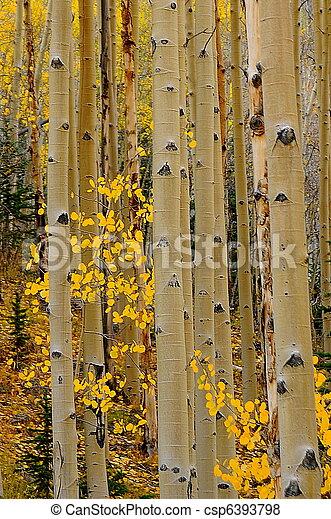 Aspen trees - csp6393798
