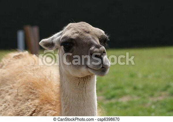 Guanaco - Lama guanicoe - csp6398670