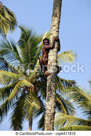 The man climbs on a palm tree, for removal of fruits in Kalatura, Sri lanka (Ceylon)