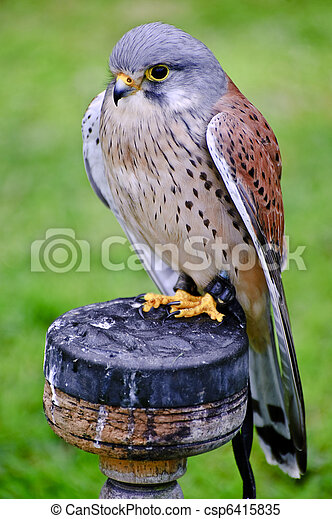 Male kestrel bird of prey raptor during falconry display - csp6415835