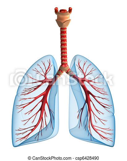 Lungs - pulmonary system - csp6428490